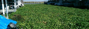 California Delta Water Hyacinth Infestation